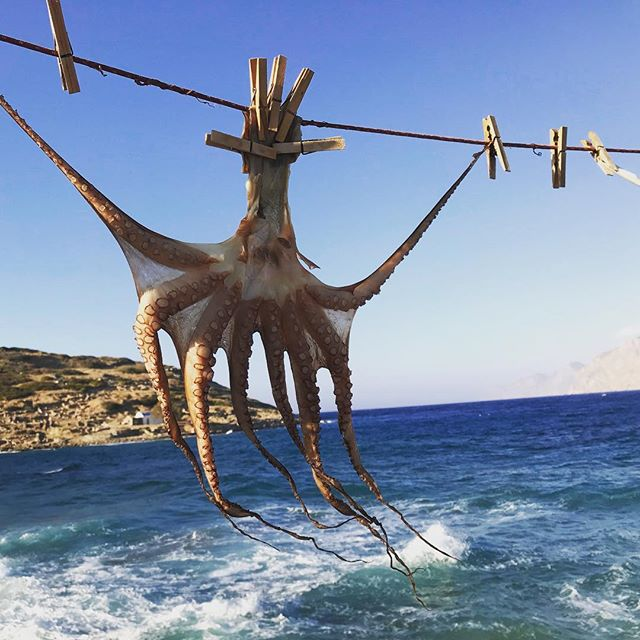 Octopus hanging next to the sea in Mochlos, Crete. The octopus is partially dried for 6-10 hours to draw out moisture thereby intensifying the salt and flavors in the flesh. νόστιμο!! #esfl #foodevolutions #nutrientdense #eatlikehumansagain #octopus #driedmeat #fishing #speargun #seafood #instacrete #instafood