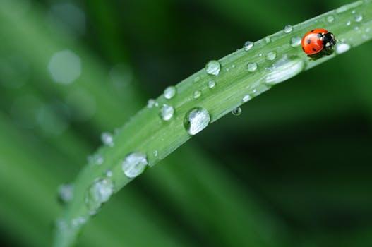 ladybug-drop-of-water-rain-leaf-40731.jpg