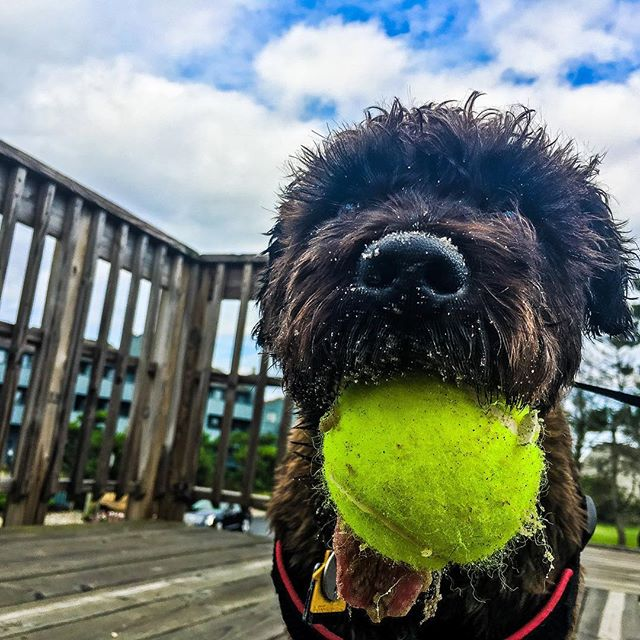 Guinness loves 🎾#surfshop #seabright #jerseyshore #august #shopdog #luckydog #tennis
