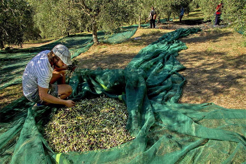 - Olive harvesting adventures are once-in-a-lifetime experiences. The 2019 season is already filling up.