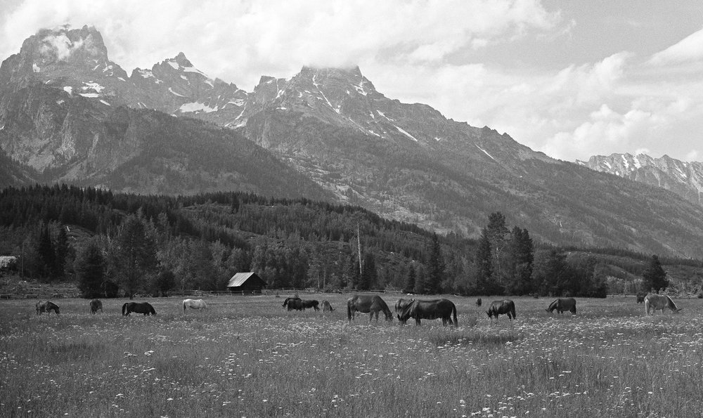 Happy horses on pasture in the Tetons