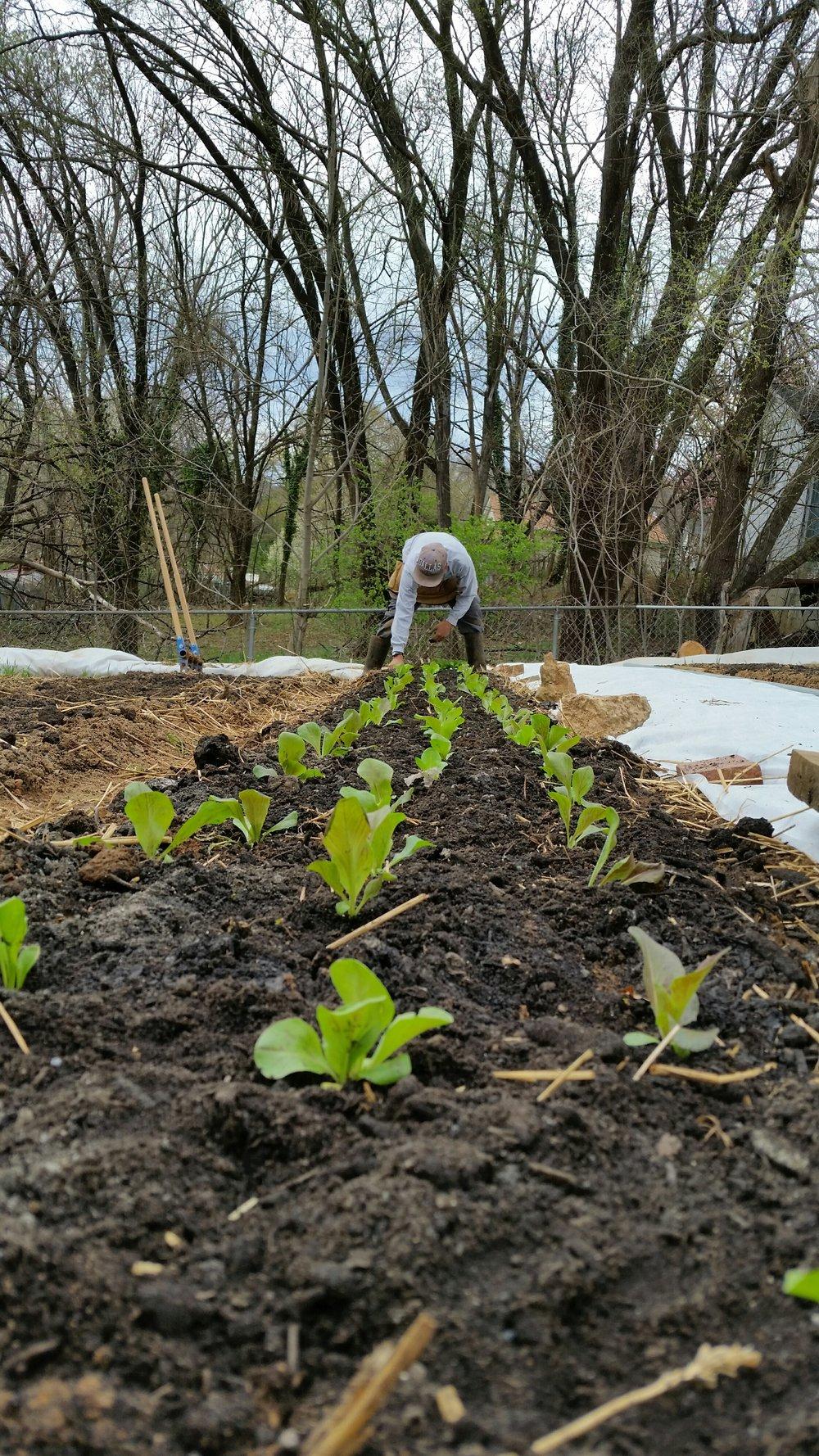 planting lettuce plugs