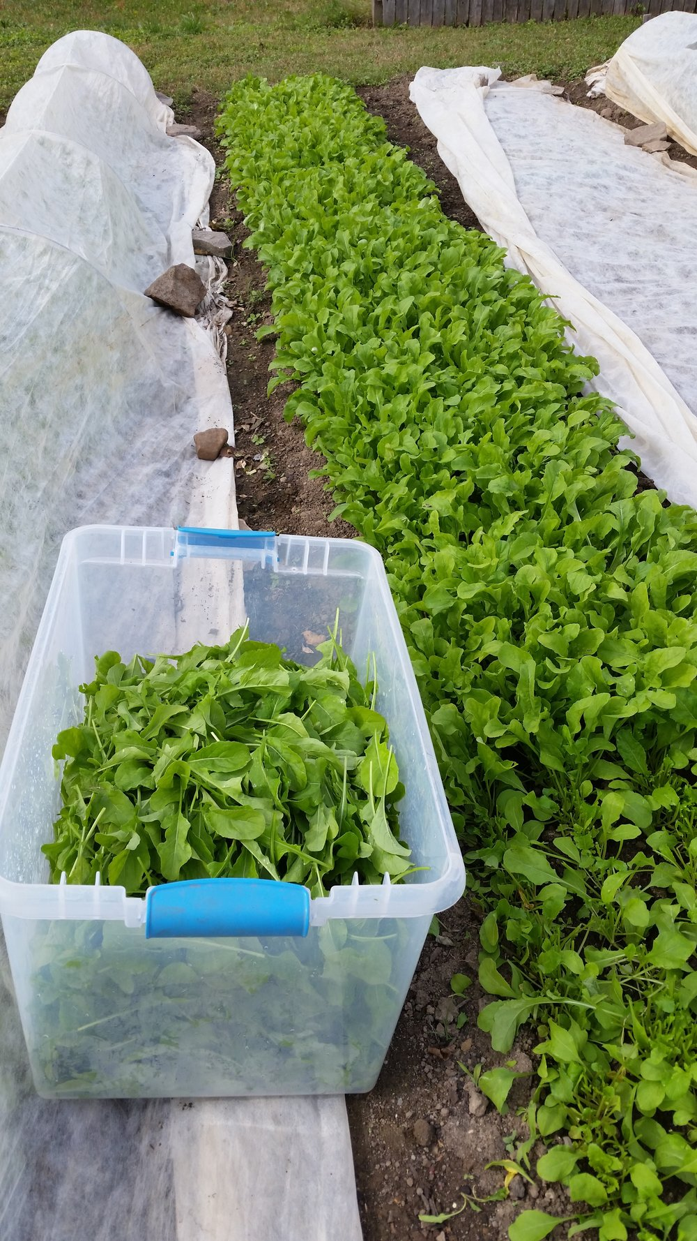 our first harvest at Wise Ave: arugula!