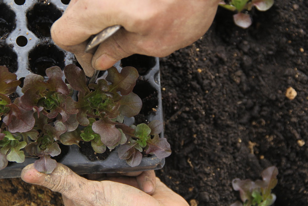 We'll grow your plants from seed, and transplant them out into your garden!