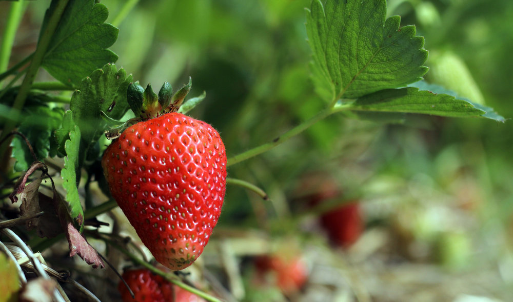 your backyard strawberry patch could bear all summer!