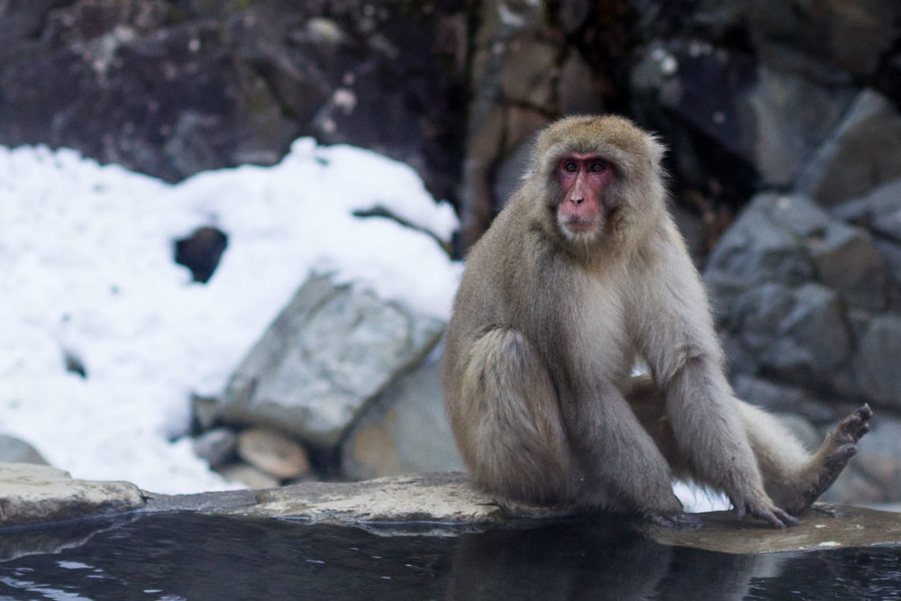 A snow monkey sits on the edge of a hot spring