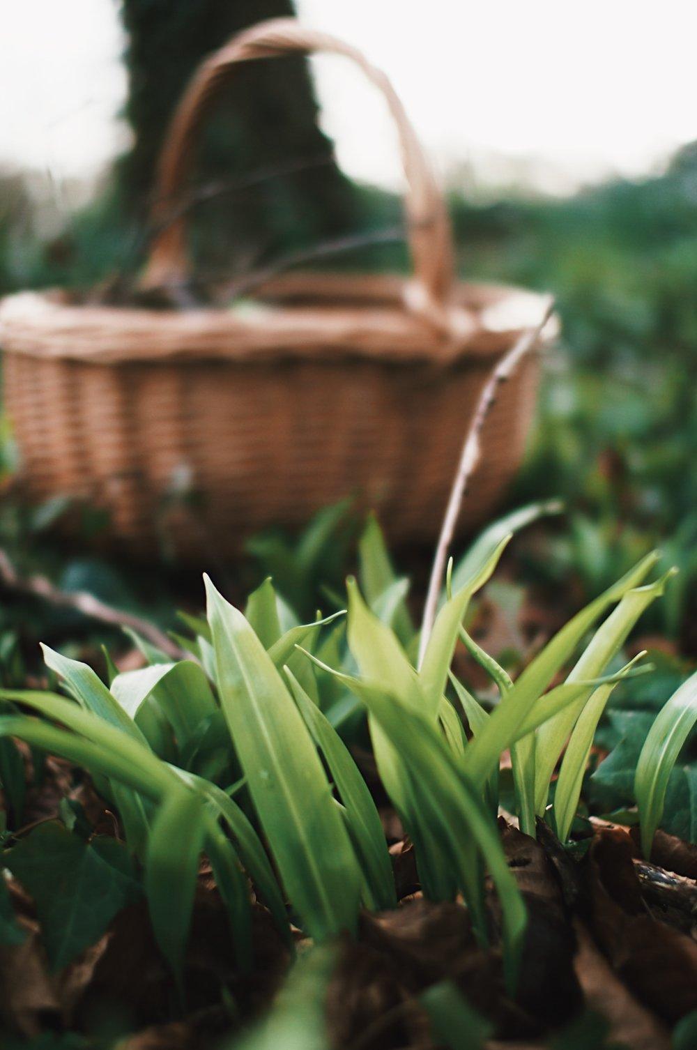 edible-wild-spring-greens-wild-garlic