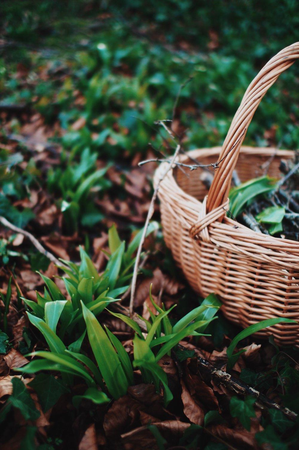 foraging-wild-garlic