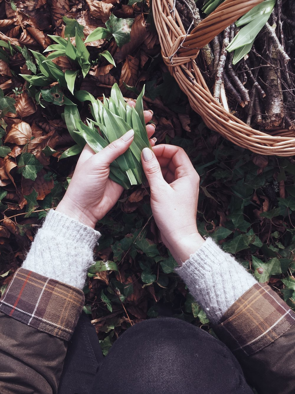 picking-wild-garlic
