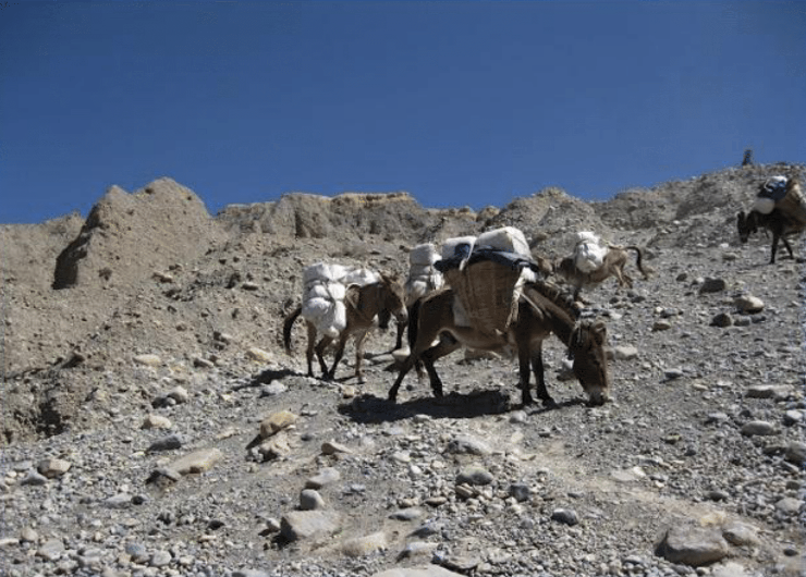 Mules carry duffles and supplies. Upper Mustang, 2011.  Photo by Steve Jung.