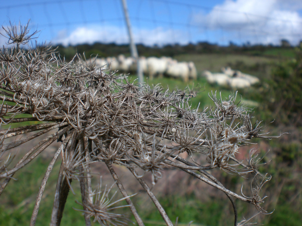 Sardinian sheep wool dyed locally with wild plants