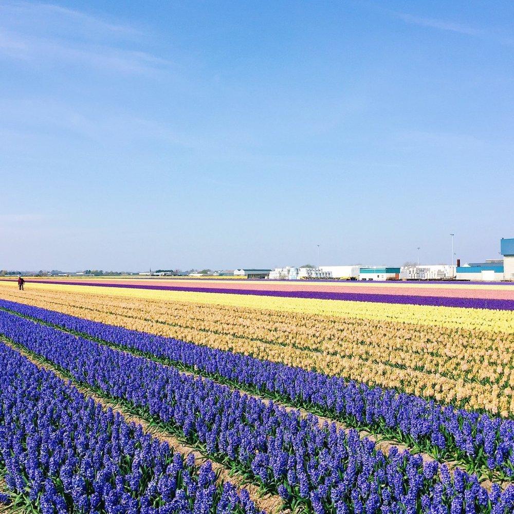 Keukenhof-Flower-Field-1024x1024.jpg