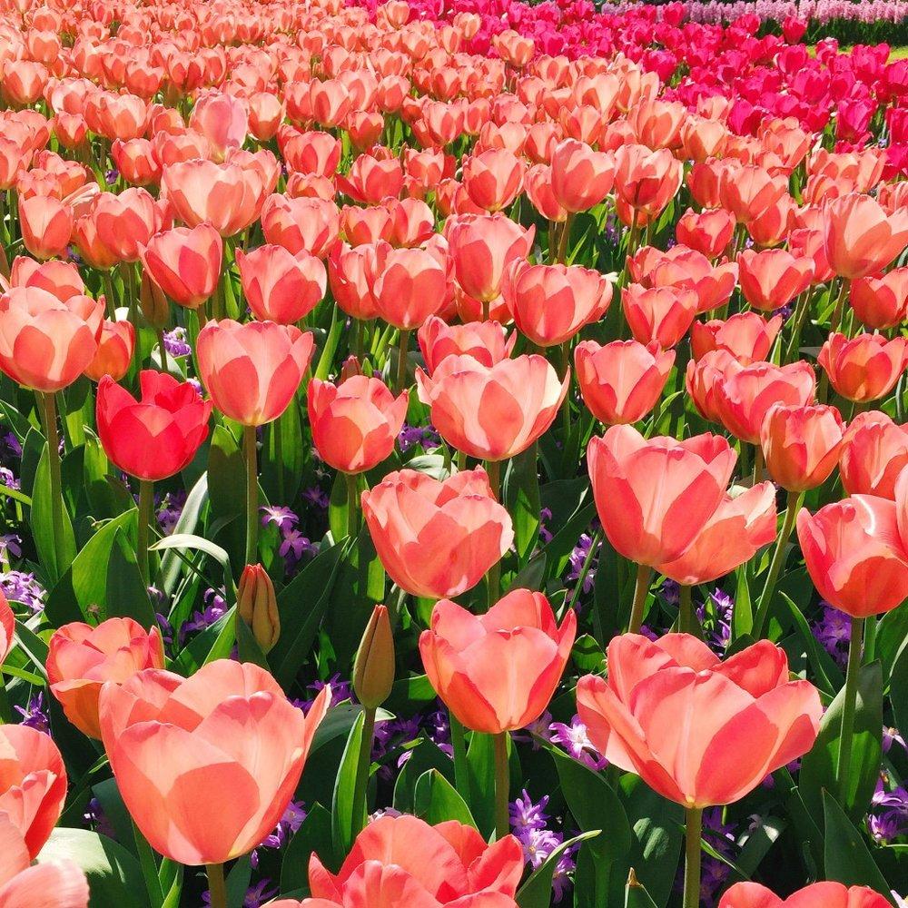 Keukenhof-Flower-Gardens-1024x1024.jpg