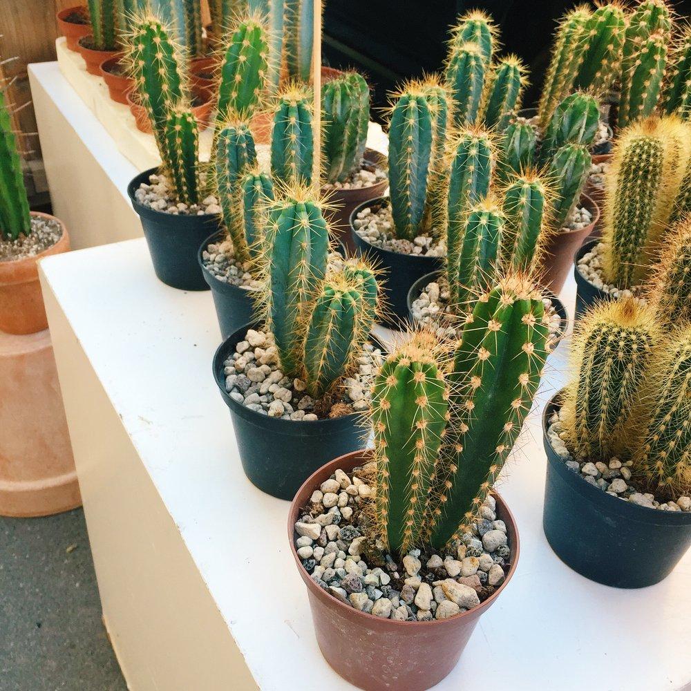 Kaktus-Copenghagen.jpg