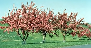 Red Splendor Crabapple