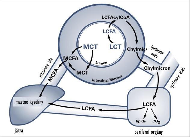 Obrázek 3 Rozdílné vstřebávání triglyceridů MCT (portálním oběhem do jater) a LCT (lymfatickým systémem do velkého krevního oběhu a periferních tkání); MCFA = mastné kyseliny z MCT; LCFA = mastné kyseliny z LCT