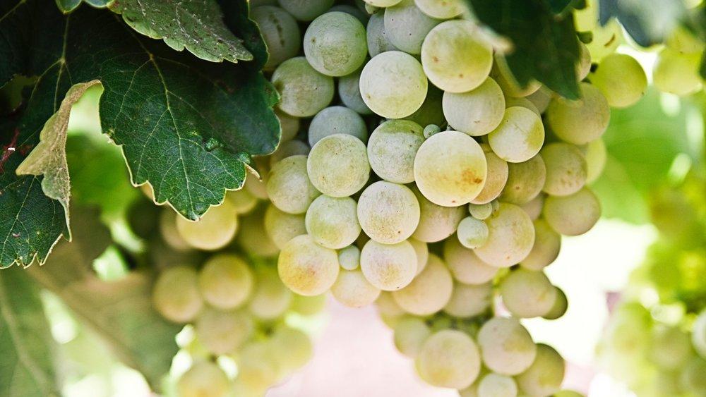 Tour of the Vineyard  Reichensteiner vines