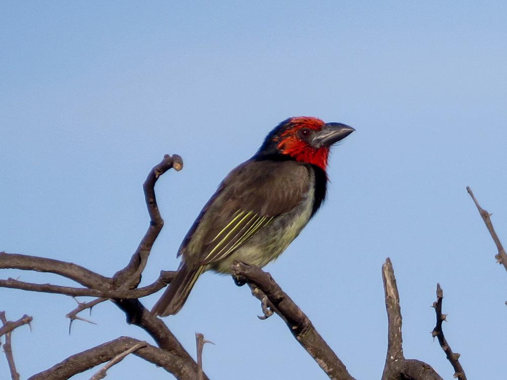Barbets, Tinkerbirds -