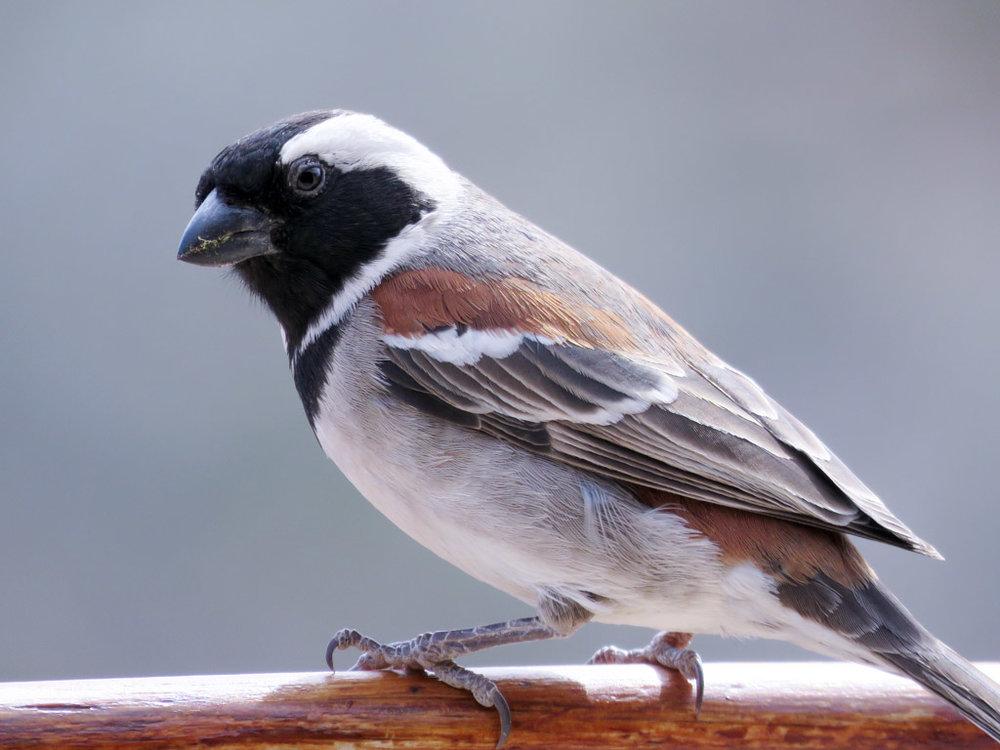 Sparrows -