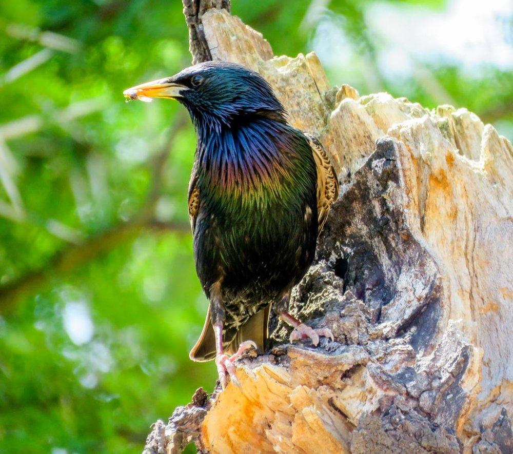 Starlings, Mynas -