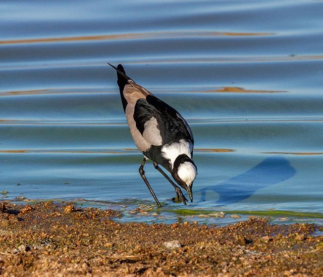 The Blacksmith Lapwing (Plover)⠀ ⠀⠀ ⠀⠀ ⠀⠀ ⠀⠀ #blacksmithlapwing #plover #lapwing #bird #birdphotography #birdphoto #birdsofinstagram #birdsofsouthafrica #wildlife #wildlifephotography #wildlifeaddicts #wildlifelovers #africanbirds #birdlife #birdlovers #birdwatching #birdwatchers #nature