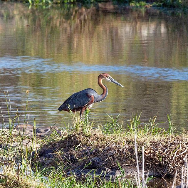 The Goliath Heron⠀ ⠀ ⠀ ⠀ ⠀ #goliathheron #heron #bird #birdphotography #birdphoto #birdsofinstagram #birdsofsouthafrica #wildlife #wildlifephotography #wildlifeaddicts #wildlifelovers #africanbirds #birdlife #birdlovers #birdwatching #birdwatchers #nature