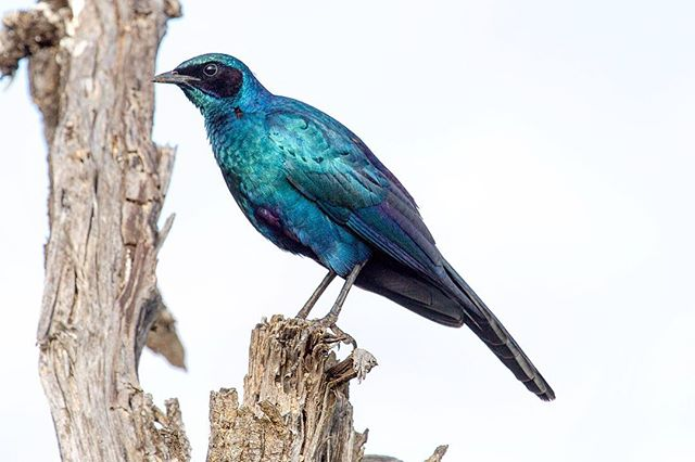 Burchell's Starling⠀ ⠀ ⠀ ⠀ ⠀ #burchellsstarling #starling #bird #birdphotography #birdphoto #birdsofinstagram #birdsofsouthafrica #wildlife #wildlifephotography #wildlifeaddicts #wildlifelovers #africanbirds #birdlife #birdlovers #birdwatching #birdwatchers #nature