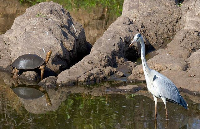 The Grey Heron (and a turtle)⠀ ⠀⠀ ⠀⠀ ⠀⠀ ⠀⠀ #heron #greyheron #bird #birdphotography #birdphoto #birdsofinstagram #birdsofsouthafrica #wildlife #wildlifephotography #wildlifeaddicts #wildlifelovers #africanbirds #birdlife #birdlovers #birdwatching #birdwatchers #nature