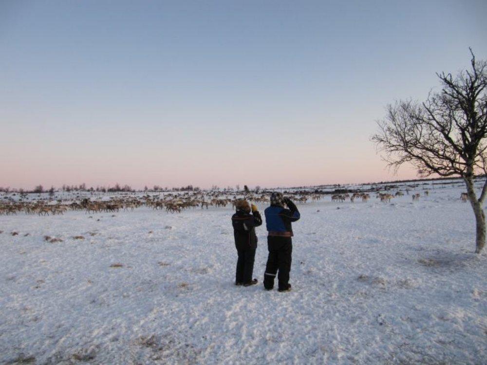 Sami-Reindeer-Herding-Marie-watching-reindeer.jpg