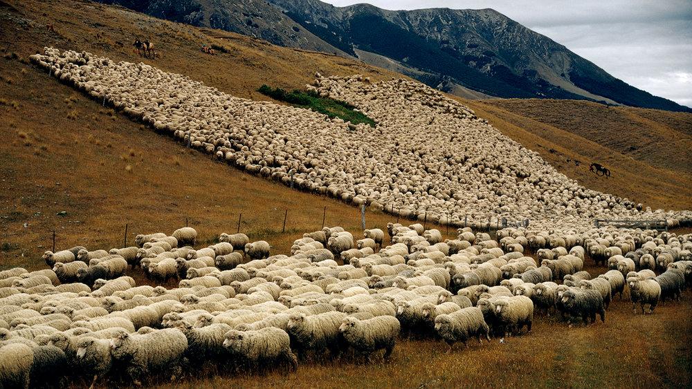 new-zealand-sheep.ngsversion.1396531716629.jpg