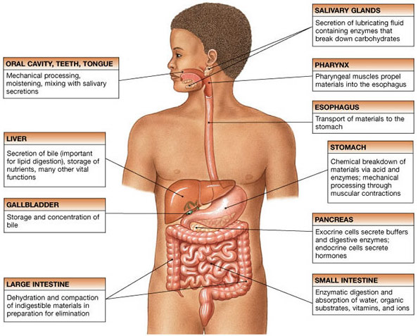 Source: http://defenderauto.info/digestive-system-organs/
