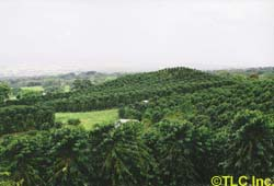 One of George's coffee orchards in Holualoa.