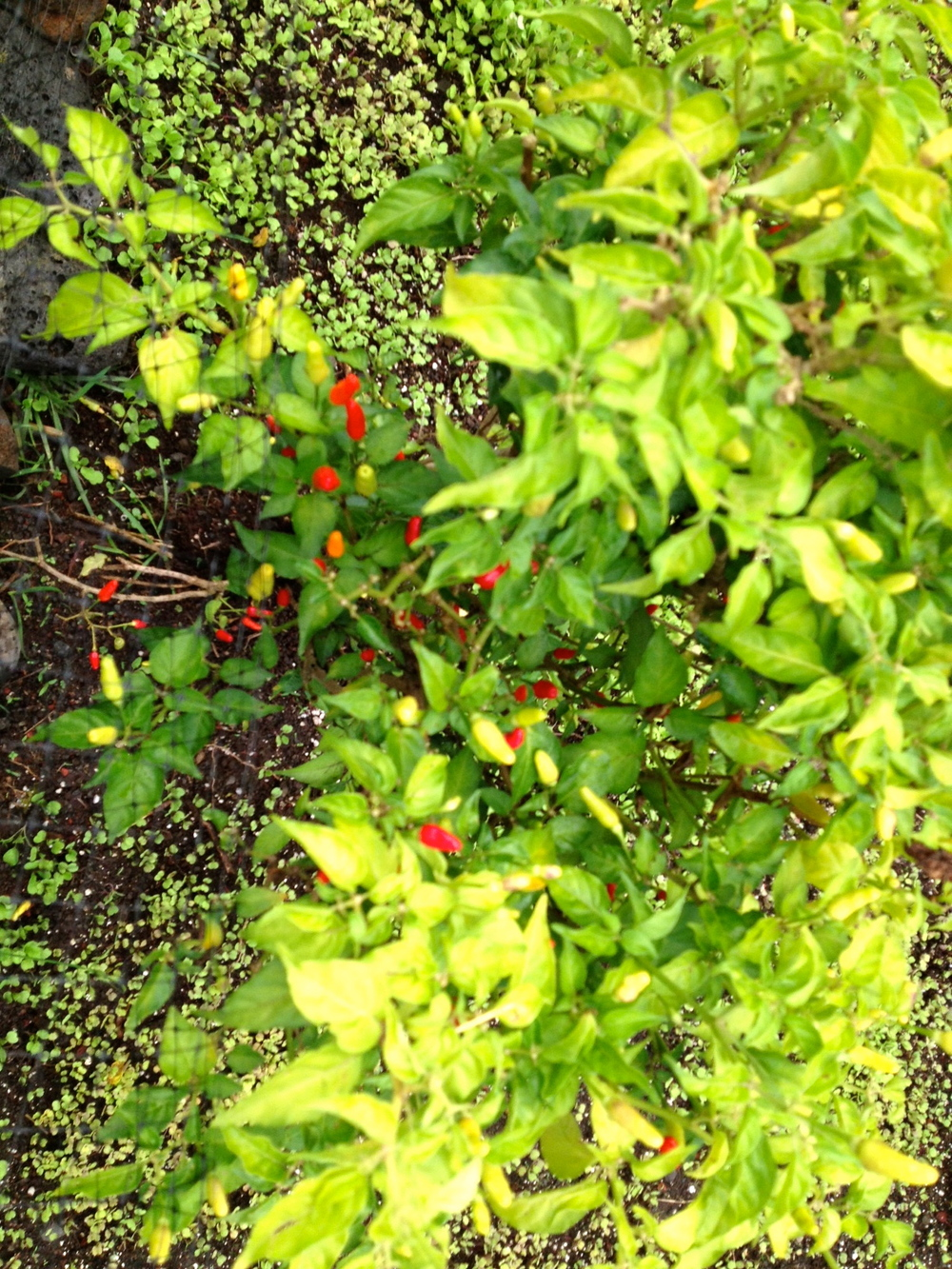 Hawaiian hot peppers.