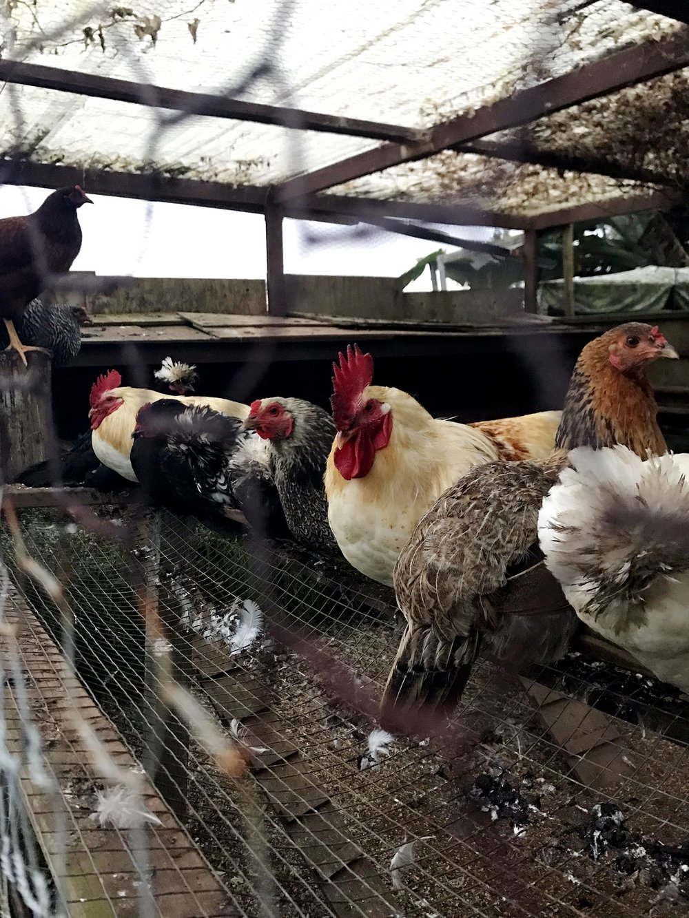 Sunshower-Farms-About-The-Farm-Chickens-Tour.JPG