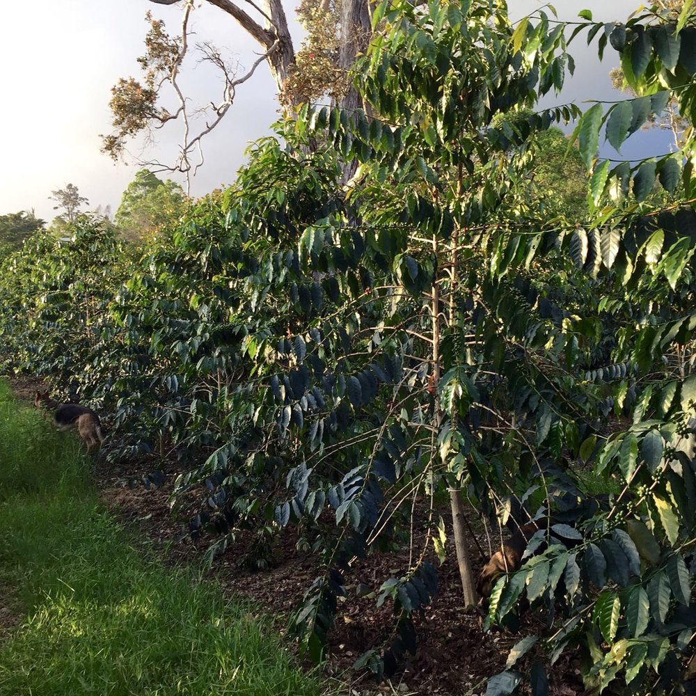 Kona-Coffee-Farm-Orchard-Tour-Fresh-Roasted.jpeg