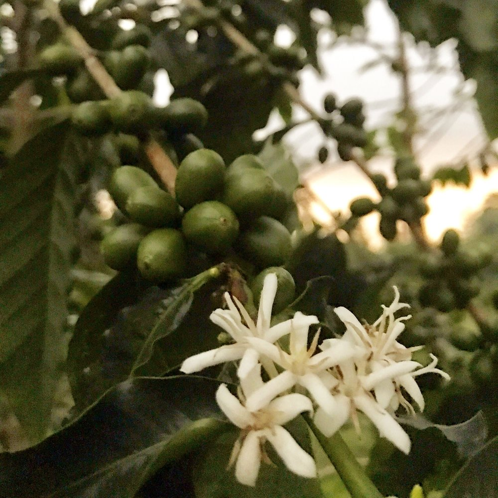 Real-Kona-Coffee-Farm-Flowers-Sunshower.JPG