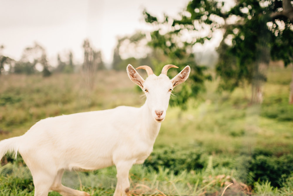 hawaii wedding goats
