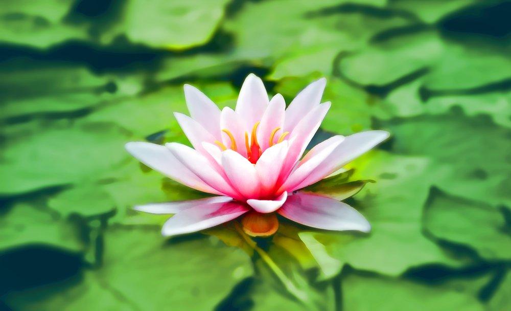 aquatic-bloom-blooming-158465.jpg