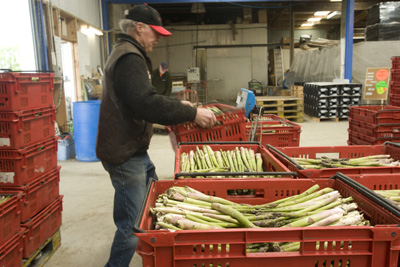 Freshly picked asparagus being processed in Levin at tendertips Asparagus.