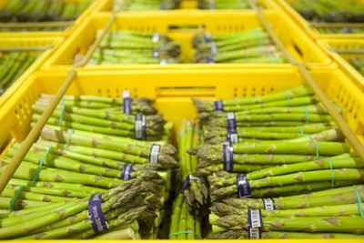 Freshly picked asparagus being processed in Levin at Tendertip Asparagus..