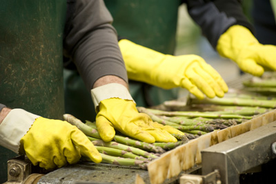 Fresh asparagus being sorted by hand in Levin at Tendertips Asparagus.