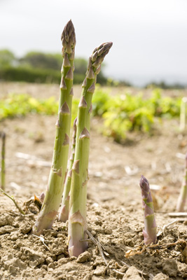 Tentertips asparagus growing in Levin, NZ.