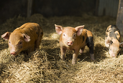 Organic piglets in barn at Ti Kouka, Hawkes Bay, New Zealand.