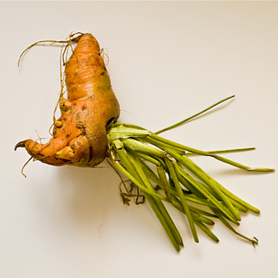 Strange shaped fresh carrot photographed in studio.