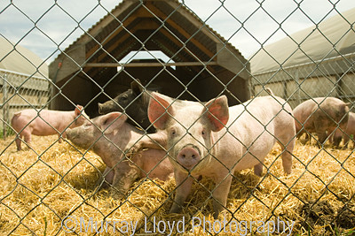 Pigs in mobile pen at Murrellen Pork, Canterbury.