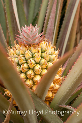 Ripe pineapple growing in Northland, New Zealand