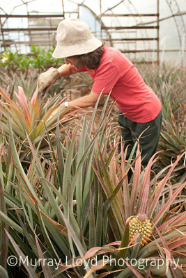 Jan pruning pineapple