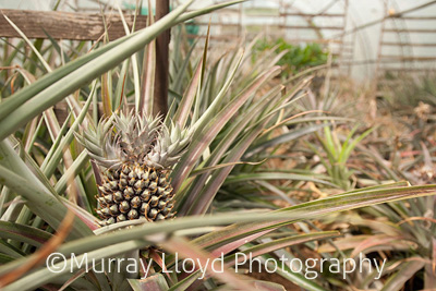 Pineapple growing in Northland, New Zealand.
