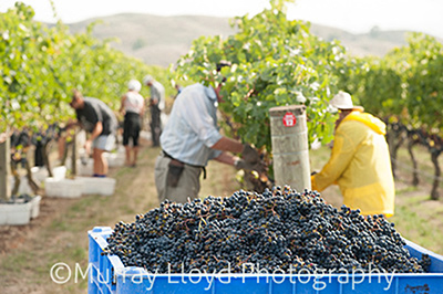 grapepicking_0138.jpg