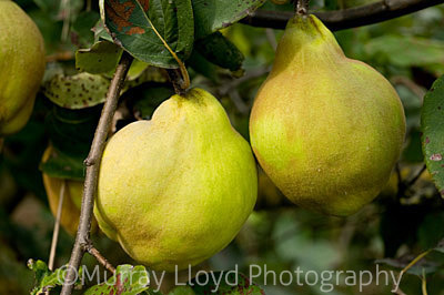 Organic quince growing at Epicurian Supplies in Hastings, Hawkes Bay.